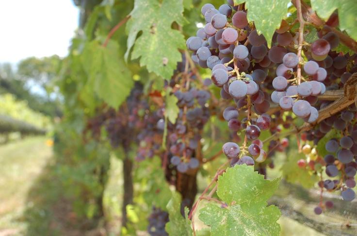 CabFranc grapes biodynamically grown at Ravine Vineyards, near Niagara-on-the-Lake, Ontario