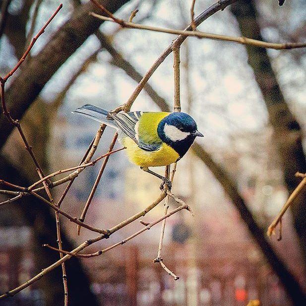 Ну, чтож, привет декабрь! Давно не видели тебя... #byolgapushkinaphoto #photoanimals #bird #tit #nikon📷 #fauna #winter #city #синичка #зима #приветдекабрь #синица #первыйденьзимы #photobird