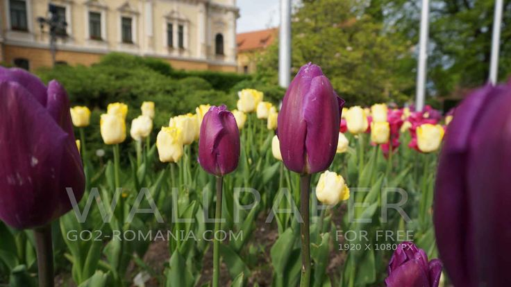Wallpaper purple and yellow tulips, Brasov Download Wallpaper for your computer-smartphone. Wallpaper Download for free for your computer Resolution 1920×1080 pixels Download Wallpaper for your computer-smartphone. Click on the photo you want to download and save on your computer or on your smartphone.
