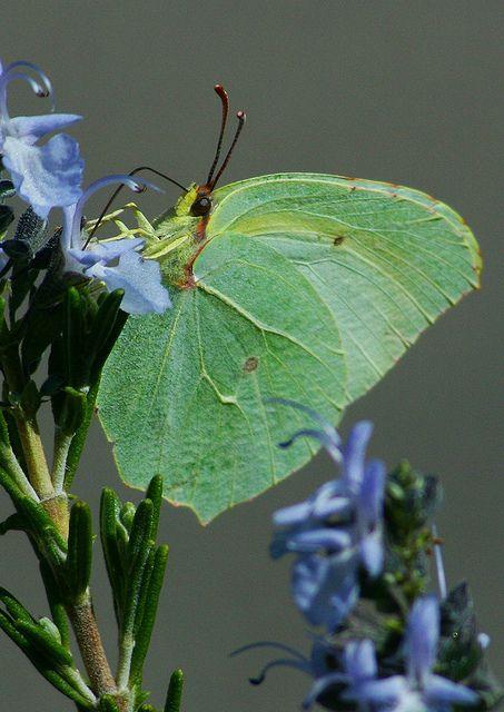 """Butterfly: Gonepteryx rhamni """"Brimstone"""""""