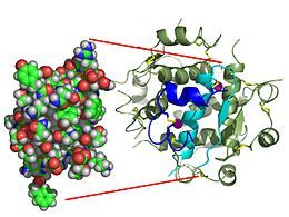 Monomère d'insuline humaine (PDB1AI0).