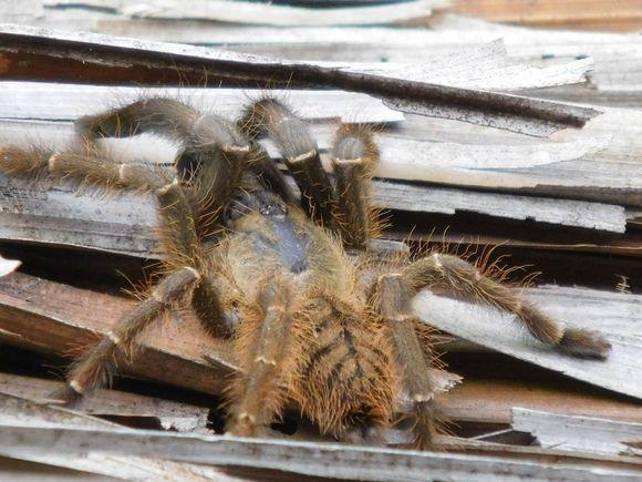 sumatran tiger tarantula