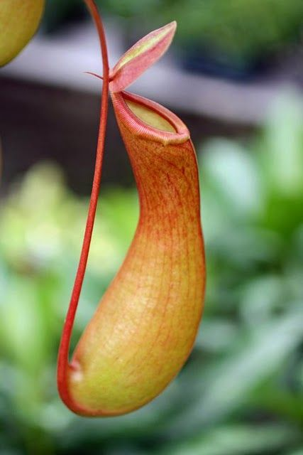 Pitcher plant carnivorous and venus fly trap plants Weird plants to grow indoors