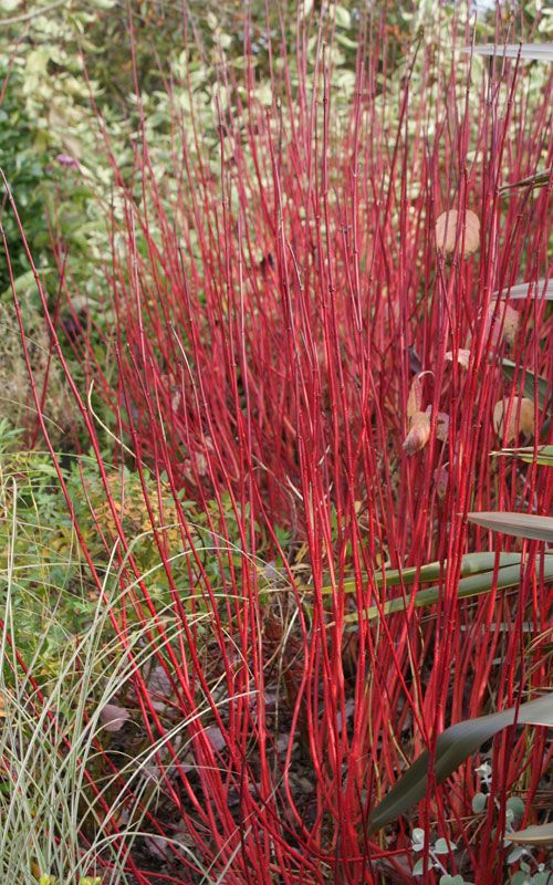 Cornus alba sibirica 39 agm also known as c a westonbirt - Cornus alba sibirica ...
