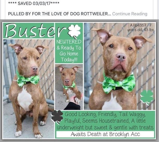BUSTER WAS SAVED 03/03/17 BY FOR THE LOVE OF DOG, ROTTWEILER RESCUE OF NH - 💚💚💚💚