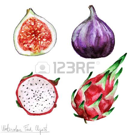 fig drawing: Watercolor Food Clipart - Pitaya and Fig Stock Photo