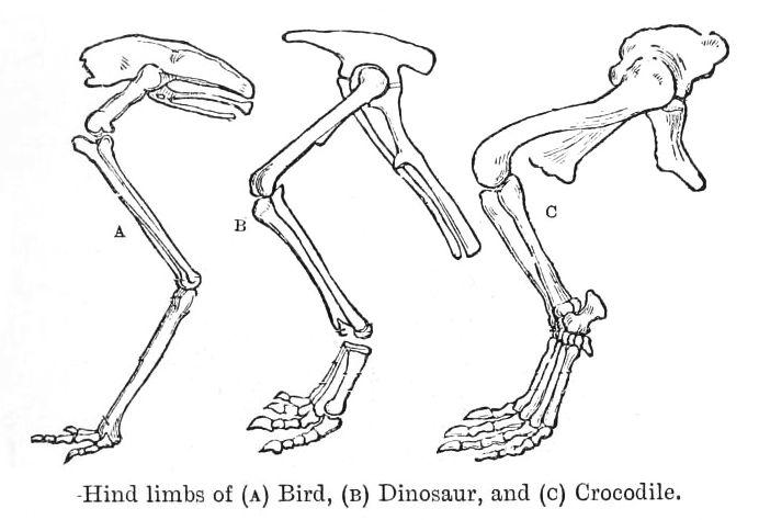 File:Hip evolution.jpg