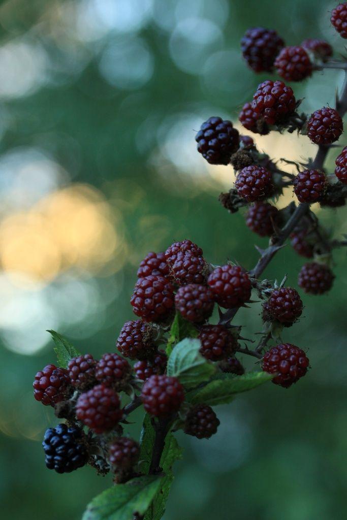 Bramen - Blackberry by Country Woman At Heart #fruit