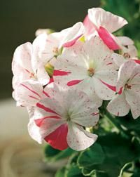 Bobberstone. Pelargonium x hortorum. Kotipelargonit eli vyöhykepelargonit ovat yleisin pelargoniryhmä | Tunne pelargonit | Koti ja puutarha