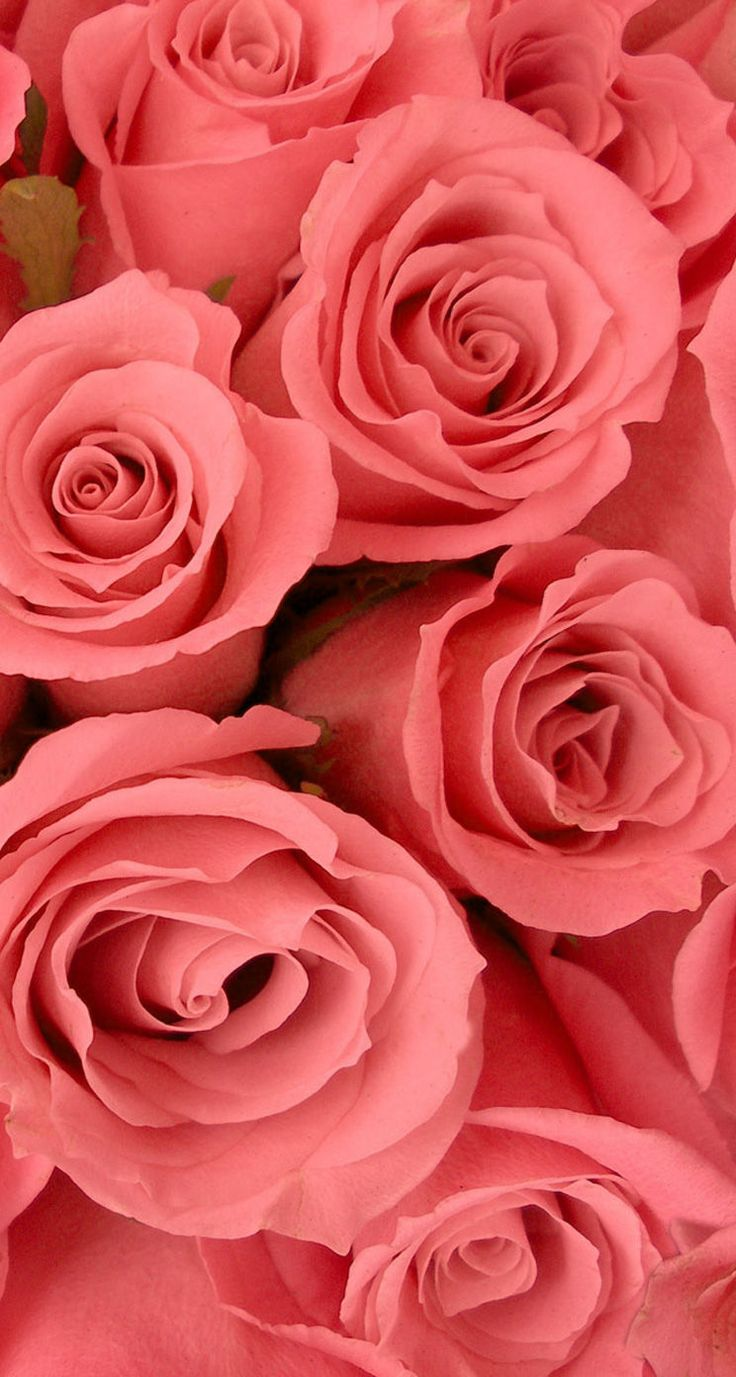 Roses. 26 Valentine's Day Flowers wallpapers for iPhone