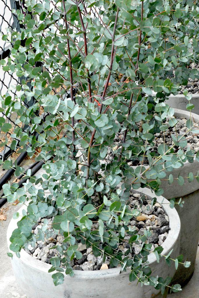 Eucalyptus: planter et tailler – Ooreka