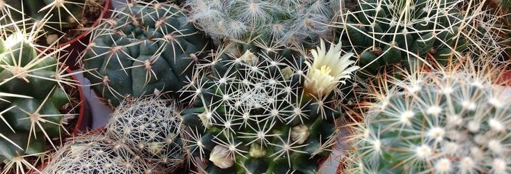 Pereskiopsis.com | Cactus, Seeds, and Grafting Stock for Sale