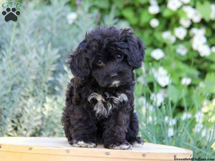 Image Result For Cavapoo Black Cavapoo Puppies Puppies And Kitties Cavapoo