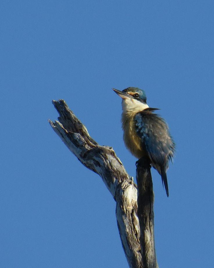 Australian Woodland Kingfisher- Photo taken is Perth, Western Australia
