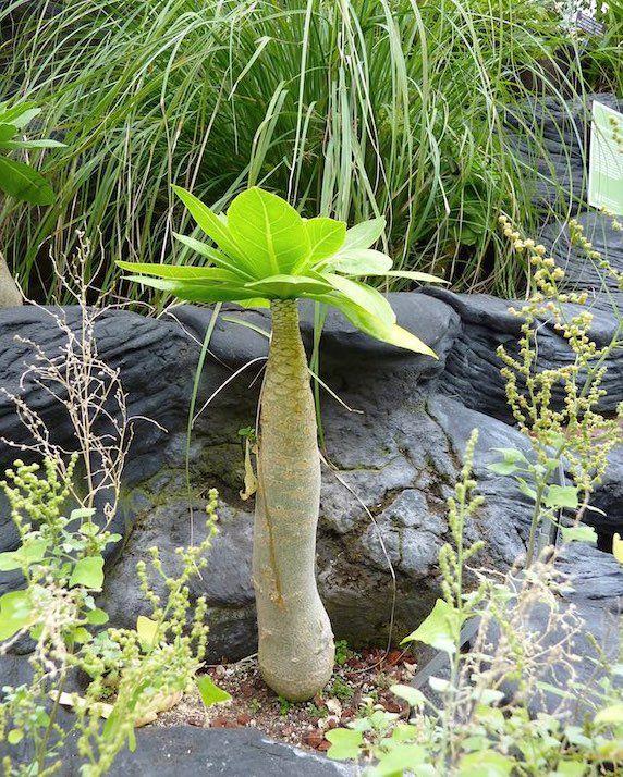 A Palmeira Havaiana e uma herbácea, pertence à família Campanulaceae, nativa das ilhas Havaianas, perene, de crescimento lento, caule suculento, robusto ...