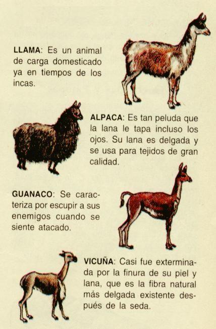 Llama vs Alpaca vs Vicuna | Animales del norte grande de Chile: llama, alpaca,guanaco y vicuña ...