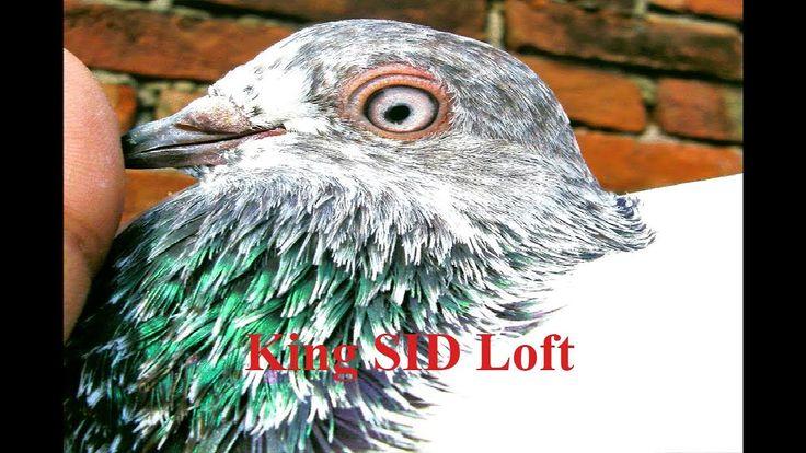 Best Pakistani pigeons loft &Tippler pigeons breeding cages daily activi...