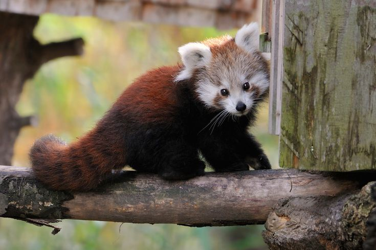 Curious Red Panda Baby by Josef Gelernter on 500px