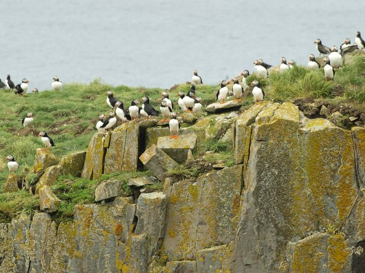 Puffins - Bonavista, NL  This is Bird Island near Elliston.  The annual Puffin fesitval is in early July.
