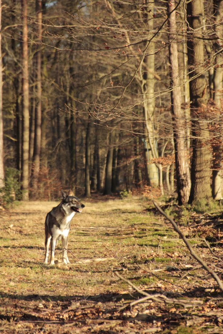 Falcon onze Tsjechoslowaakse wolfhond / Czechoslovakian Wolfdog