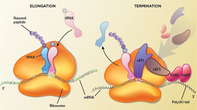 Traditional stop codons have a double meaning in the protozoans' mRNA, sometimes calling for an amino acid during translation.