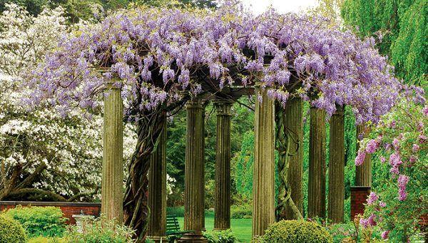 7.-La glicina es una trepadora potentísima que hay que vigilar para que no se convierta en invasora. Es muy fácil de cultivar y su floración es colorida y abundante.