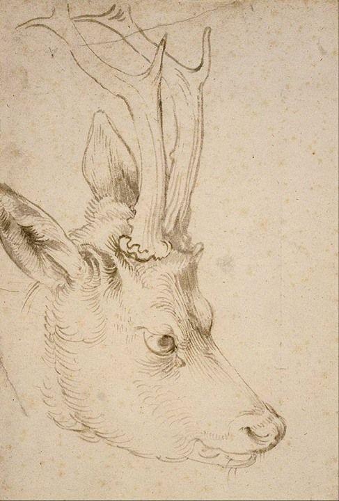 Albrecht Dürer - Study for a roebuck's head. 1503