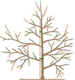 27 Best Images About Obstbaum Schneiden Zeichnungen On Pinterest