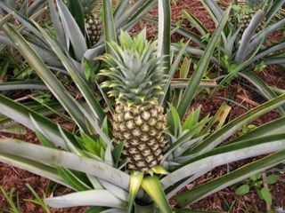 Ananasplant bromelia