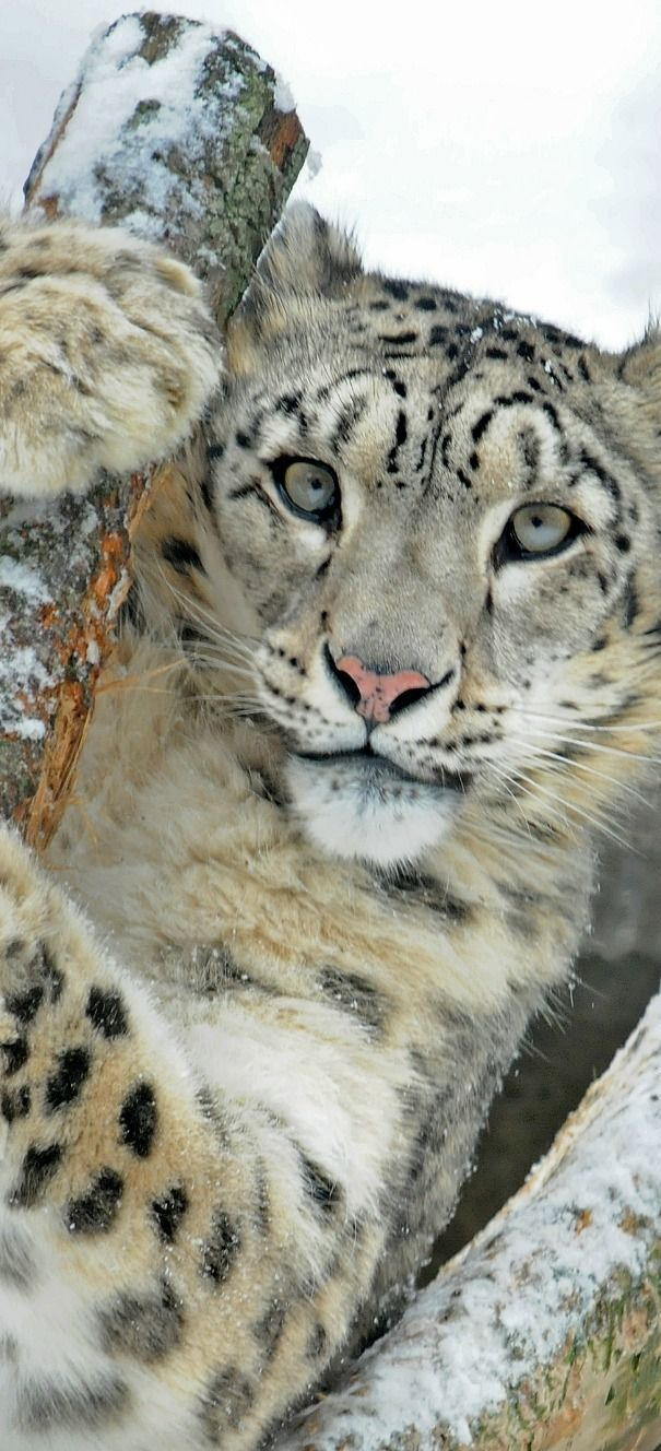 Snow leopards are endangered because their body parts are use in Asian Medicine, Habitat, & Food supplies. Sad!