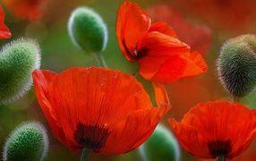 Красивые красные цветы маки