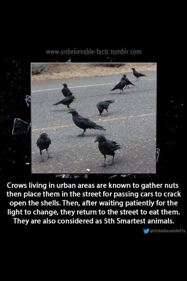 5th Smartest Animal I Ve Also Seen A Video Of A Crow