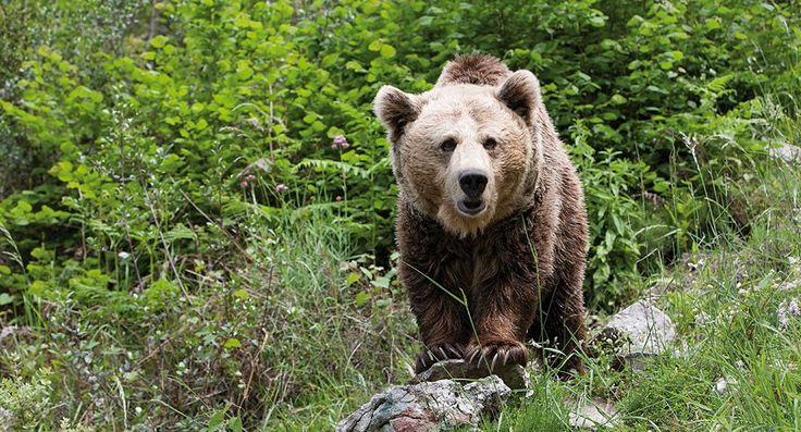 Se encuentra el cadáver de un oso pardo en Asturias - http://www.renovablesverdes.com/se-encuentra-el-cadaver-de-un-oso-pardo-en-asturias/