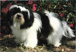 Kyi-Leo - Although its heritage comes from dogs of Asian origin, the Kyi-Leo was made in the United States, resulting from crosses between Maltese and Lhasa Apso. This sturdy, shaggy little dog is active, alert and agile.