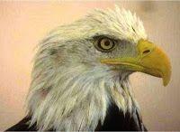 A renovação da águia