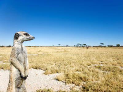 Meerkat Pictures: Meerkat Portrait