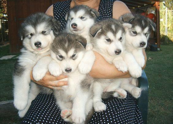 Alaskan Malamute Puppies!