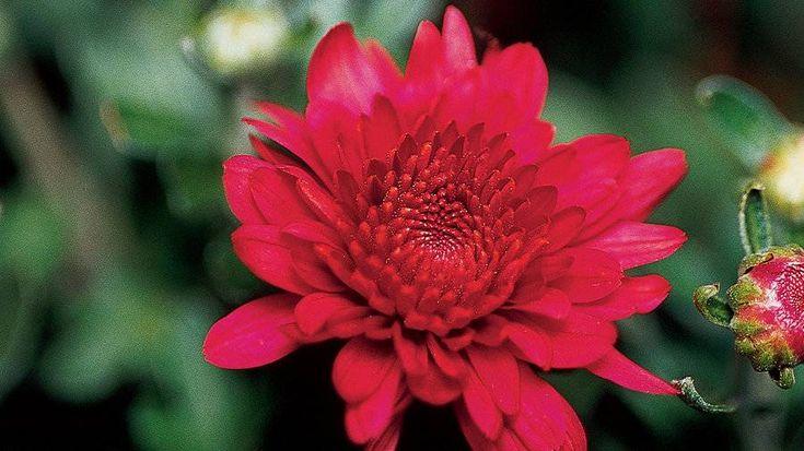 Florists' chrysanthemum