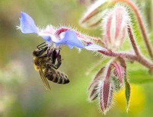 Viele Pflanzen setzen Pollen ein, um Insekten anzulocken. Im Bild: eine Biene an einer Borretsch-Blüte.