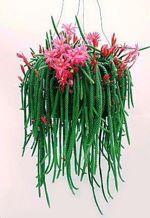 Rat tail cactus; terrible name, terrific plant!
