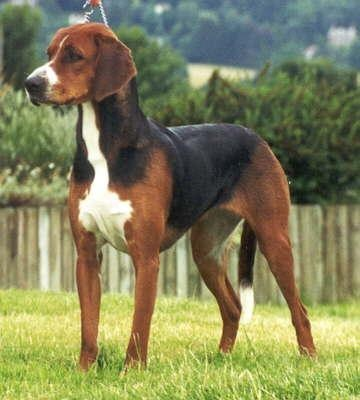 HamiltonstovareHamiltonstovare Pets, Hound Dogs Breeds, Doggie Stuff, Beagles, Families Dogs, Hamilton Hound, Rare Dogs Breeds, Beautiful Dogs, Animal