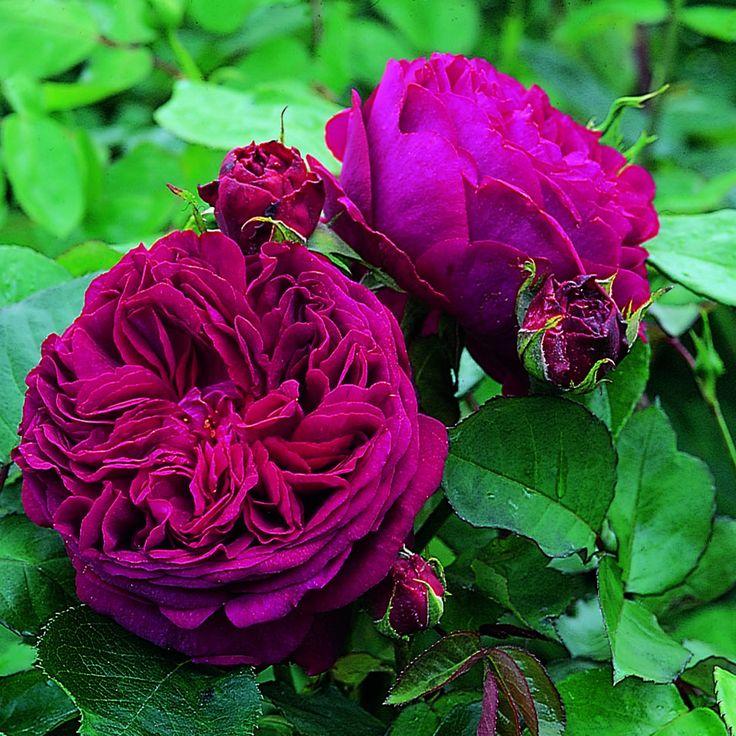 Rosa Falstaff 'Ausverse' David Austin Rose
