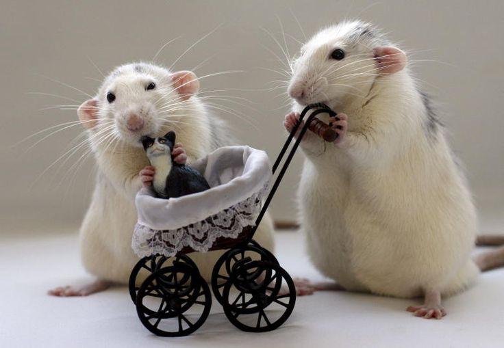 So cute!  Rats make wonderful pets. poor kitty!