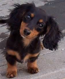 Cute Puppy Dogs: long haired miniature dachshund puppies