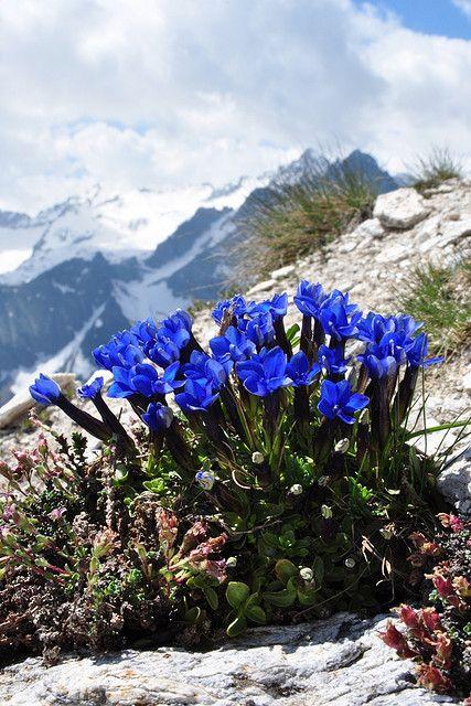GENTIANA ORBICULARIS Rundblättriger Enzian. Gentianaceae