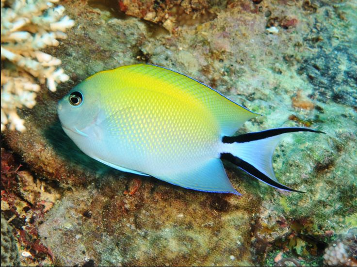 CORAL TRIANGLE_ Japanese fish Swallow