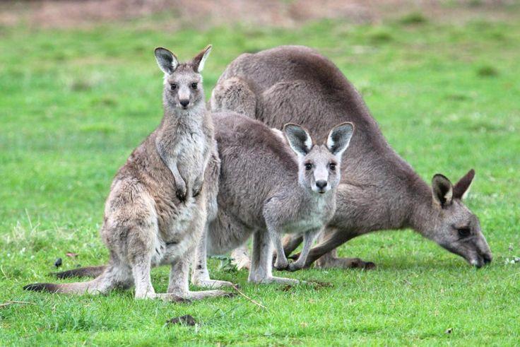 Echidna Walkabout wildlife tours (koala and kangaroo watching) in Melbourne, Australia - http://greencitytrips.com/echidna-walkabout-wildlife-tours/