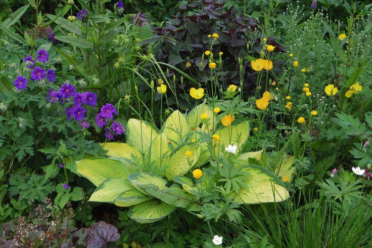 hosta gold standard met geranium may flouwer en eupatorium rugorosum choclade en trollius