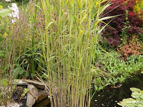 Native British Pond Plants for Sale - Devon Pond Plants