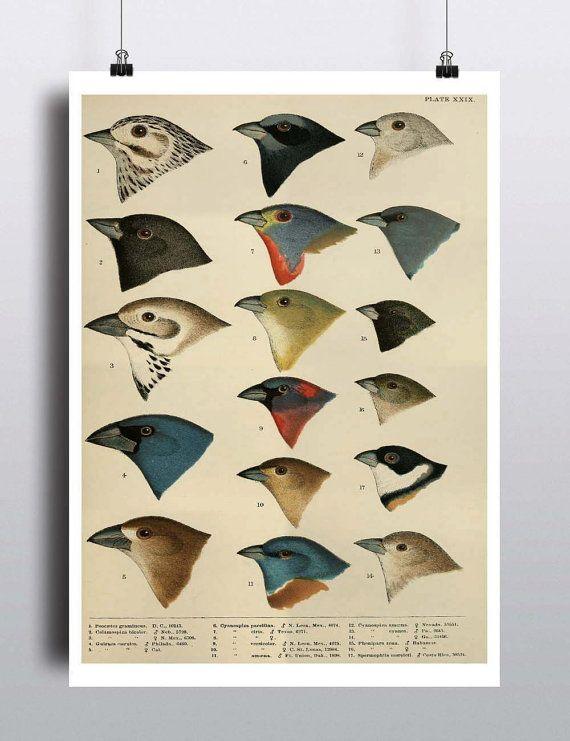 Antique Bird Illustration Print Poster Scientific by TheBlackVinyl